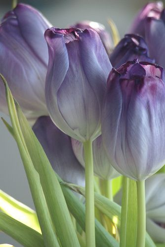 ♕ Purple Tulips ~ ♥♥♥