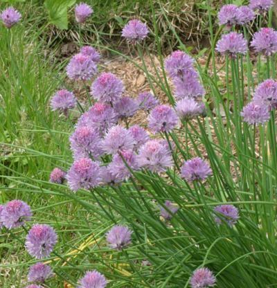 Chives - Allium schoenoprasum | Fine Gardening