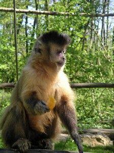 Les sapajous et capucins vivent en groupes multimâles-multifemelles de 3 à 40 individus avec un ratio de femelles d'autant plus élevé que la troupe est nombreuse. Les relations de dominance se révèlent moins « caricaturales » que chez les singes de l'Ancien Monde