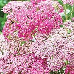 Appleblossom Achillea I Love Pink Pinterest Lavender
