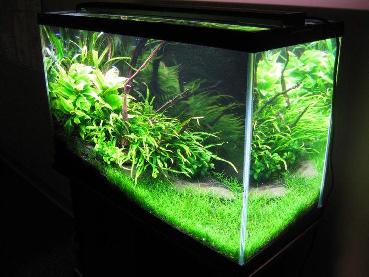 Carpet Plant For Low Tech Tank Carpet Vidalondon