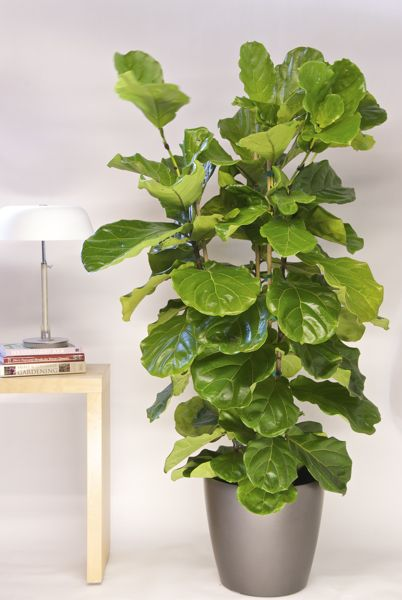 Ficus Lyrata or Fiddle Leaf Fig from Houston Interior Plants