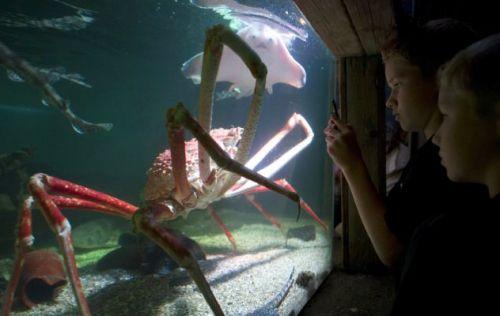 """¿Este aquí es """"Crabzilla?"""", Un cangrejo araña japonés gigante, capturado en el Océano Pacífico en 2009 y se cree que tiene 40 años de edad. Cada una de sus abrazaderas, que le permiten alimentarse, ¡mide 1,5 metros de largo! Está siendo actualmente presentado en Holanda, donde sin duda está esperando el momento adecuado para vengarse de sus captores...."""