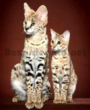Precioso gato  el Savannah, es una raza híbrida que se conoció por primera vez en 1986 cuando se cruzó una gatita domestica con un Serval Africano. A la cría de la gata se la llamó Savannah, siendo este el origen del nombre que adoptaría posteriormente la nueva raza. Esta cría obtuvo rasgos tanto de la gata doméstica como de su padre Serval, y como característica principal cabe destacar que es la raza de gato doméstico más grande del mundo.