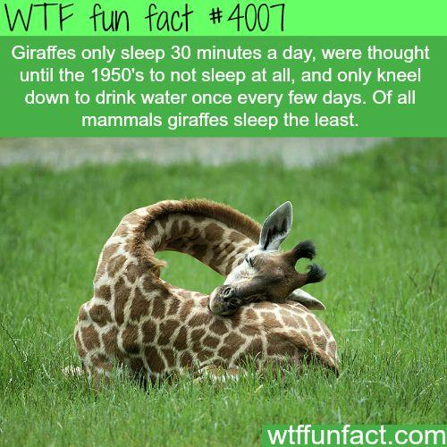 How Giraffes Sleep - WTF fun facts