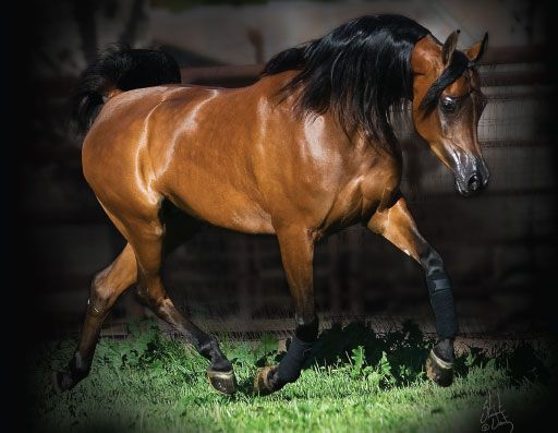 <3<3<3 PINGA - ARABIAN HORSE WORLD | BREAKING NEWS | PRIDE OF POLAND SALE