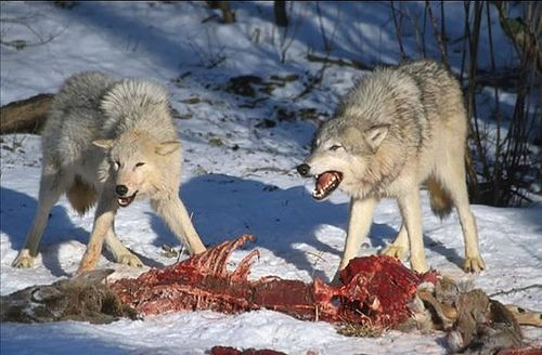 The grey wolf is a big-game hunter from the dog family, hunting mostly hoofed animals. A single wolf is capable of catching and killing a deer unaided, but when hunting as a pack, it will prey on larger animals such as the moose. Wolves kill for food not for fun...