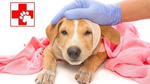 Saber estos primeros auxilios puede salvar la vida de nuestro amado animal mientras llega la ayu...