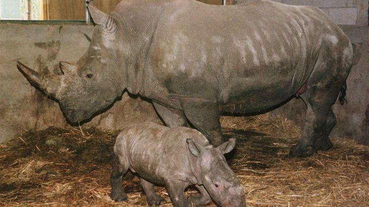 Stropers hebben in een Franse dierentuin een neushoorn doodgeschoten en zijn hoorn afgezaagd en meegenomen. Volgens Franse media braken de rovers in