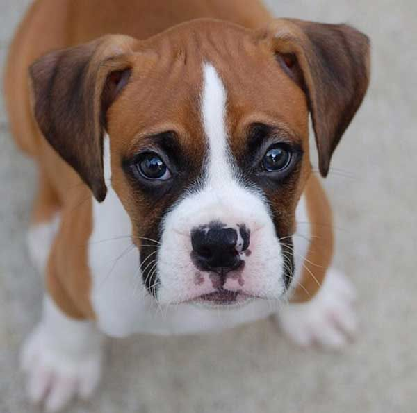 Boxer puppy face.