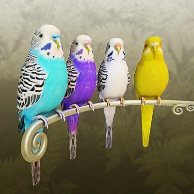 """Résultat de recherche d'images pour """"parakeet-colors"""""""