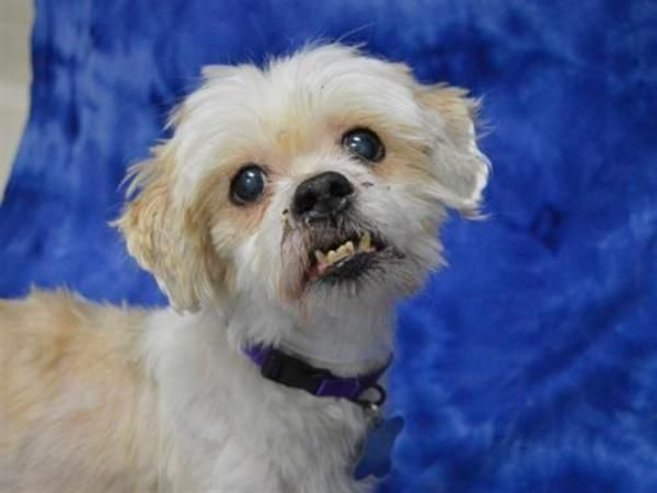 Shih+Tzu,+Mixed+Breed+Dog+For+Adoption+In+Portland Dogs
