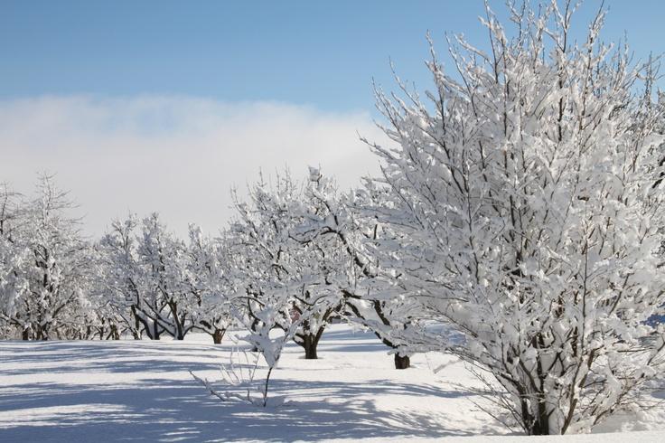 Il frutteto in pieno inverno...sotto la neve pane....anzi succo mela e pera!!!