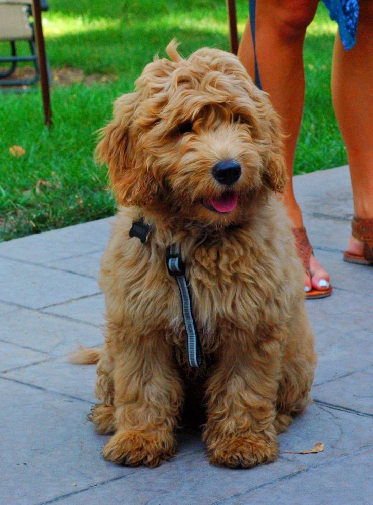 My mini goldendoodle...Rudy...at 16 weeks and 20#. What a sweetheart!!!