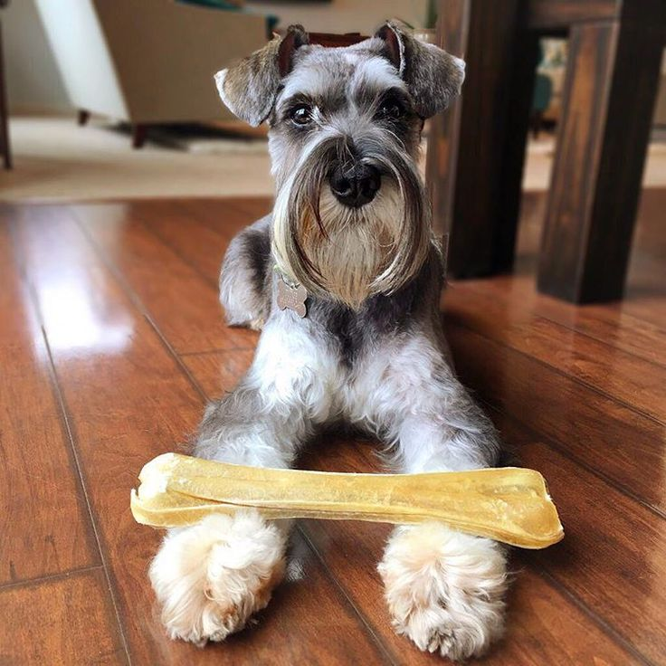 See this Instagram photo by @pudge_the_schnauzer • 629 likes