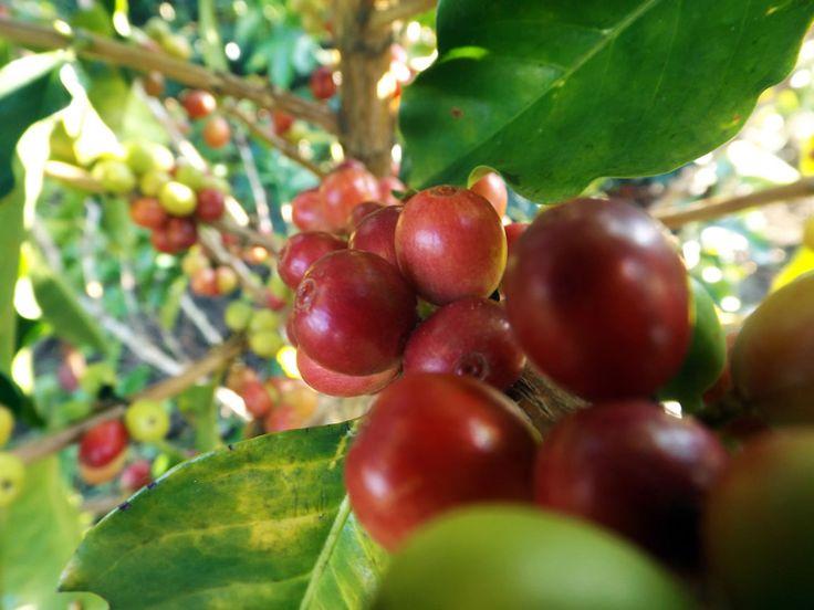 Granos de café rojo. Reservas de alojamiento 3214129517 o email angomera@gmail.com  ¿Necesitas fotos como esta para el contenido de tu web? Visita: www.laweb.com.co/contenido-web/