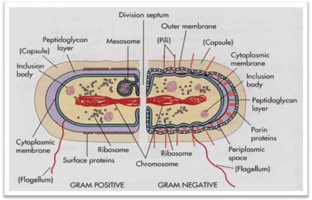 Bacterial Cell wall and Gram Staining ~ Biology Exams 4 U