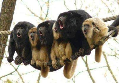 Howler monkeys.