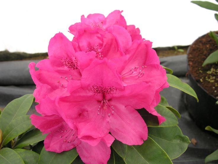 Zygmunt August Fioletowo Odmiana wyróżniająca się bardzo późnym i obfitym kwitnieniem. Kwiaty różowe, duże, fryzowane, o długich, finezyjnych słupkach.