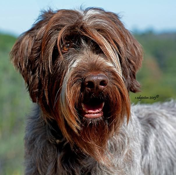 Image result for wirehaired pointing griffon | Unique dog ...