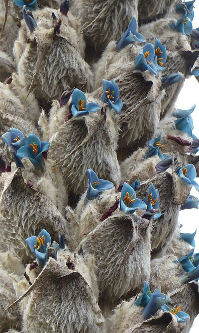 El Cajas National Park Tours: Puya Clava Herculis, Giant Hercules Club flower, Andes Paramo, Ecuador
