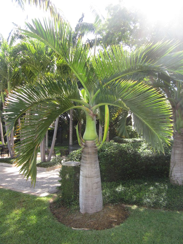 Hyophorbe verschaffeltii, Spindle Palm. Nice tropical palm for areas suited for vertical elements of smaller scale