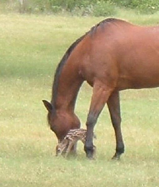 HORSES ADOPT ORPHANED DEER   A fawn was spotted wandering alone in a field near Subenacadle, Nova Scotia, Canada, but managed to survive with the help of his new foster family of horses. Once the horses took him in, the fawn never left. He was able to survive summer and fall without his mothers milk. We guess all he really needed was a lot of love and tender care.