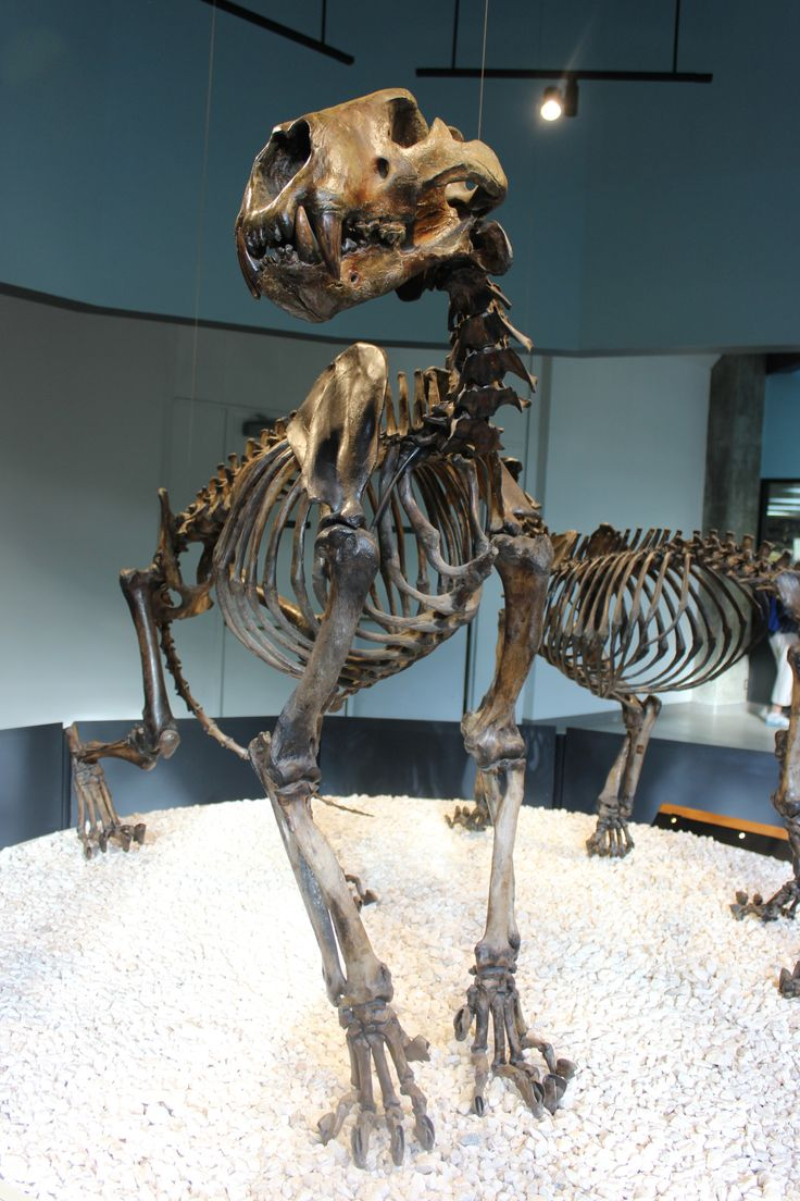 Panthera Atrox, an extinct felid, including claws without the sheaths. Photographed at La Brea Tar Pits Page Museum.