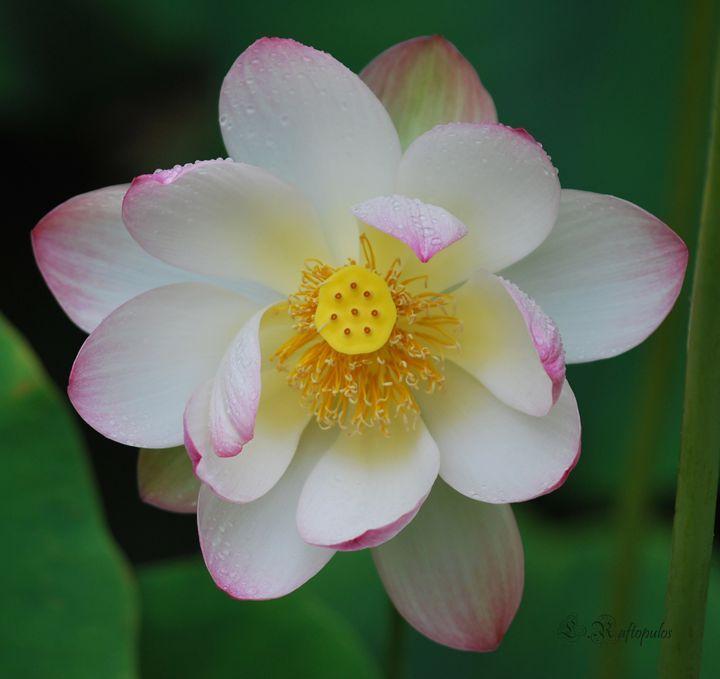 Pink and white Lotus Flower - Laureenr