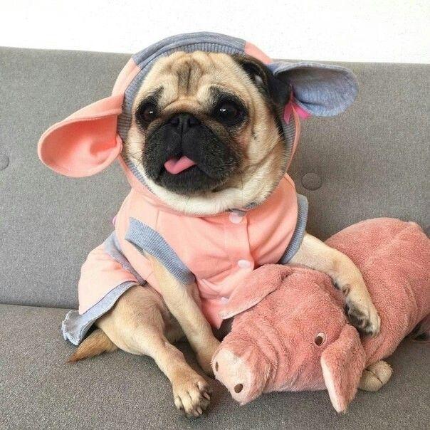 Piggy Puggy Cute Pugs Baby Pugs Baby Animals
