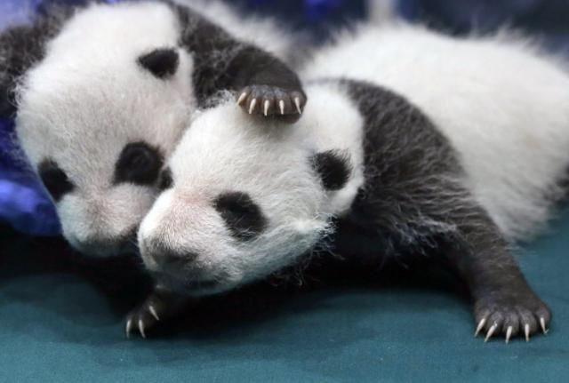 **Giant panda removed from endangered list** The bears are now considered vulnerable rather than endangered thanks to decades of conservation efforts.