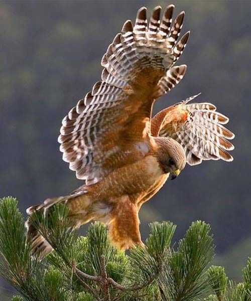 SHAWN- Red Tailed Hawk. I have several of these images saved to this board for reference in case you want it.