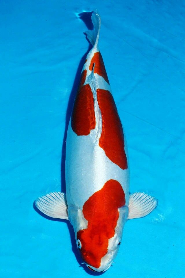 282 best images about koi living art on pinterest for Koi fish culture