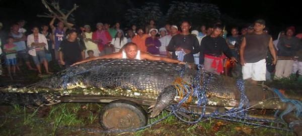 Un cocodrilo de agua salada capturado el pasado septiembre en el sur de Filipinas ha sido proclamado hoy como el ejemplar en cautividad más grande del mundo, según el Libro Guinness de los récords.