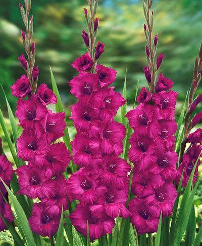~~Gladiolus Plum Tart~~ I have these. Posting pics soon.