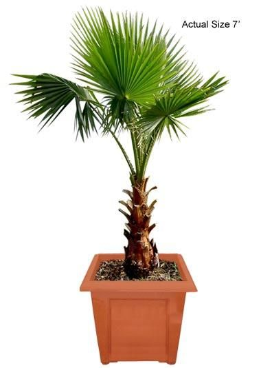 Mexican Fan Palm Tree (Mexico) - We have traveled the globe to bring you the most exotic, rare, and beautiful species of plants and palm trees shipped directly to your door! Interested in buying something unique for a friend, office, or your significant other, just visit www.realpalmtrees... for gift ideas, they even come wrapped in a bow! Palm trees and plants are great for outdoor landscaping, decorating a pool patio, for a spa or Jacuzzi, or just to spread the word of Green Living!