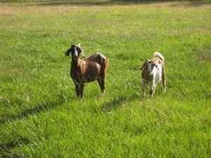 just some goats.  goats are pretty okay.