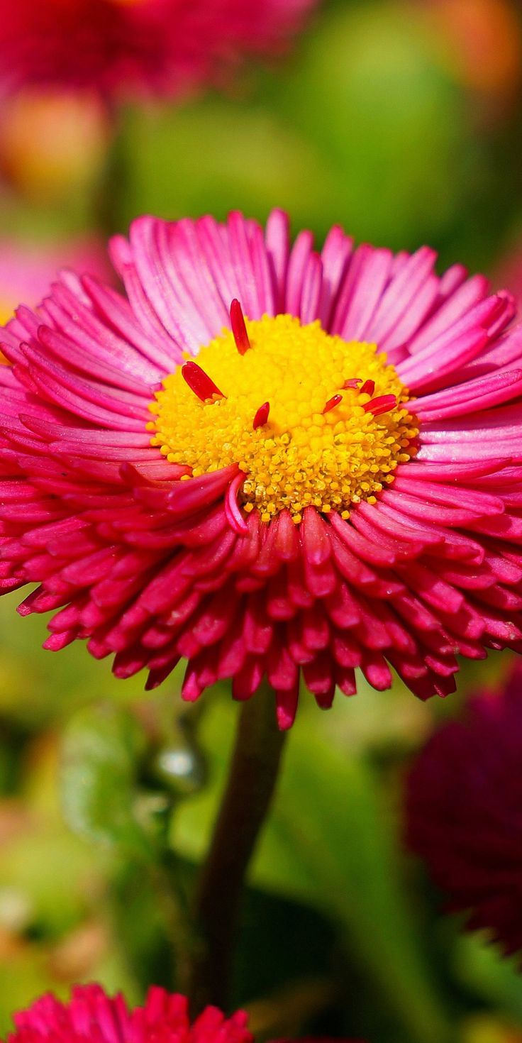 283 best beautiful flowers wallpapers pictures pc full hd wallpapers flowers hd and widescreen wallpapers pink daisy flowers 4k hd wallpaper http izmirmasajfo Image collections