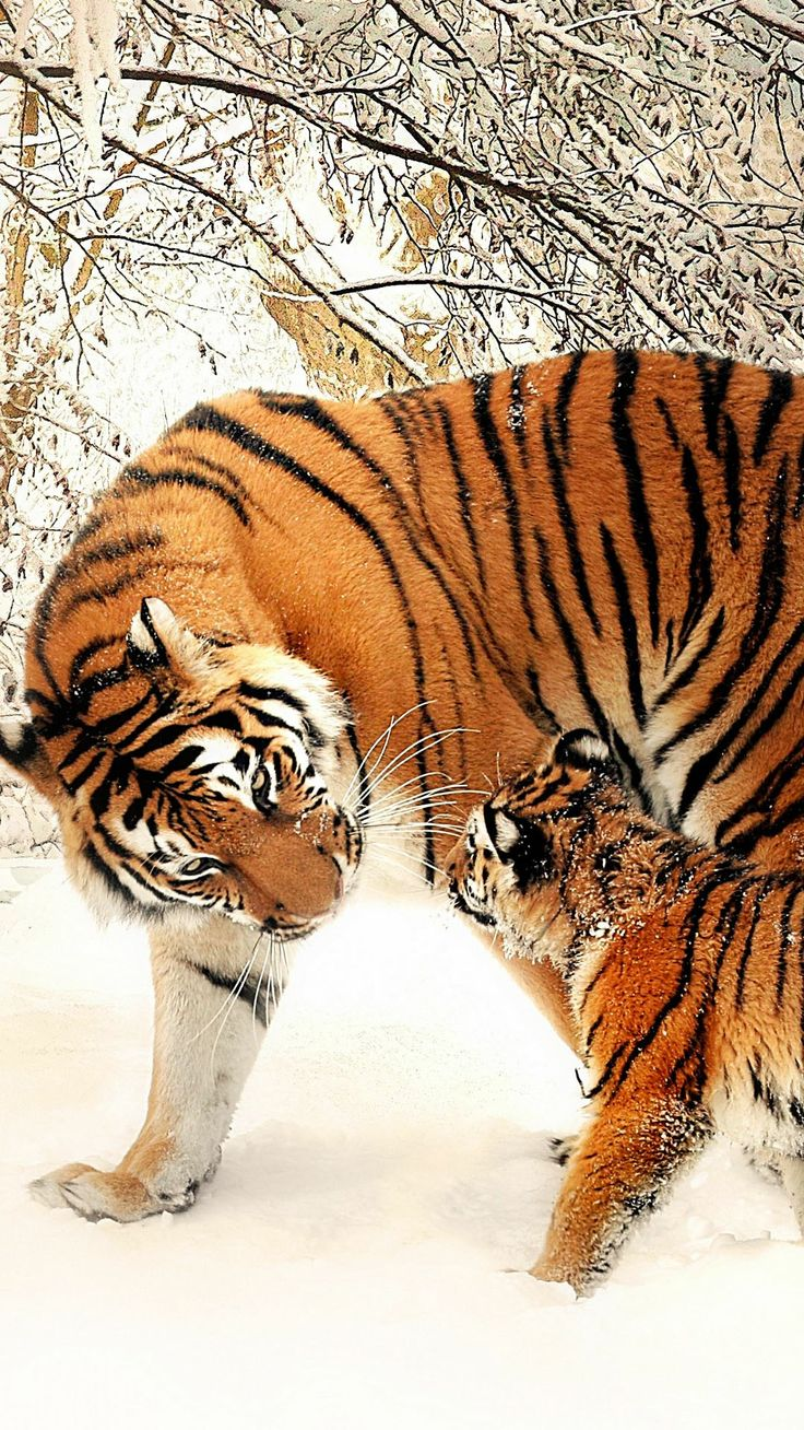 28 best Tigers images on Pinterest