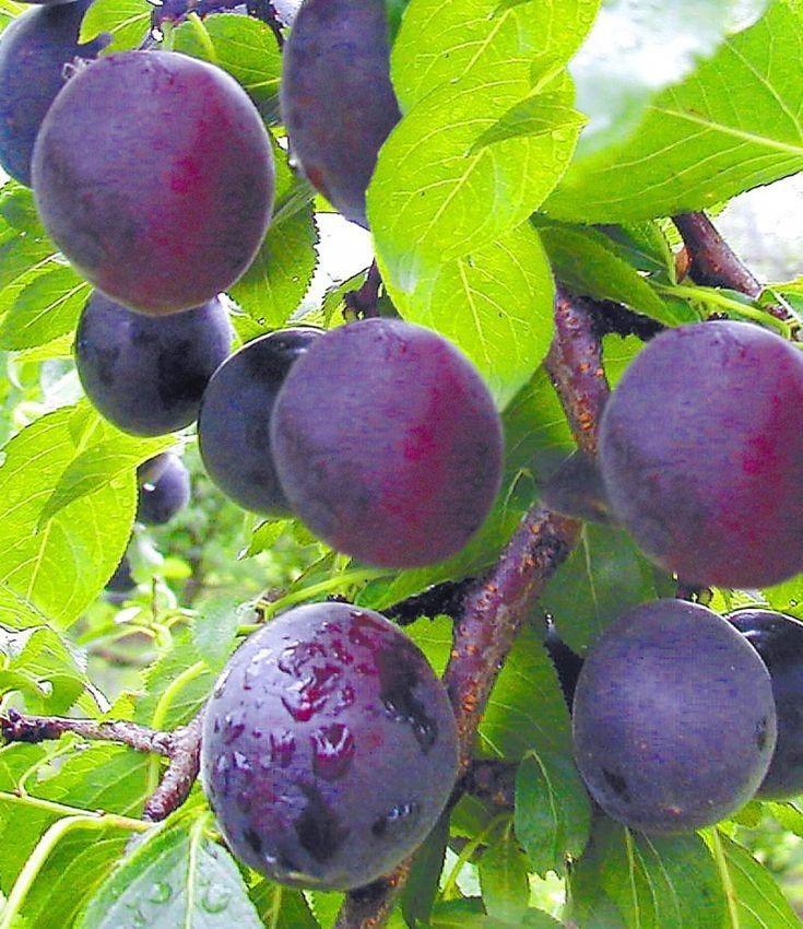Сливы абрикос