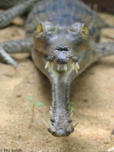 Gharial:  The gharial is the strangest o' the crocodilians,