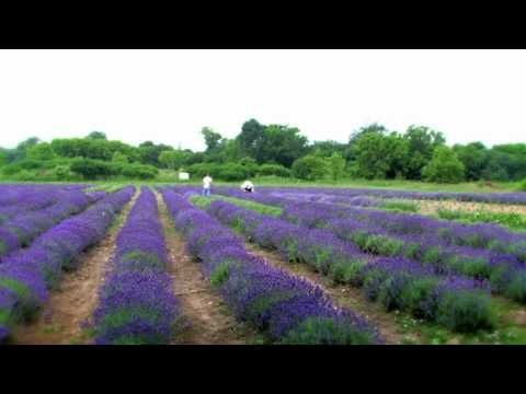 Prince Edward County Lavender Farm