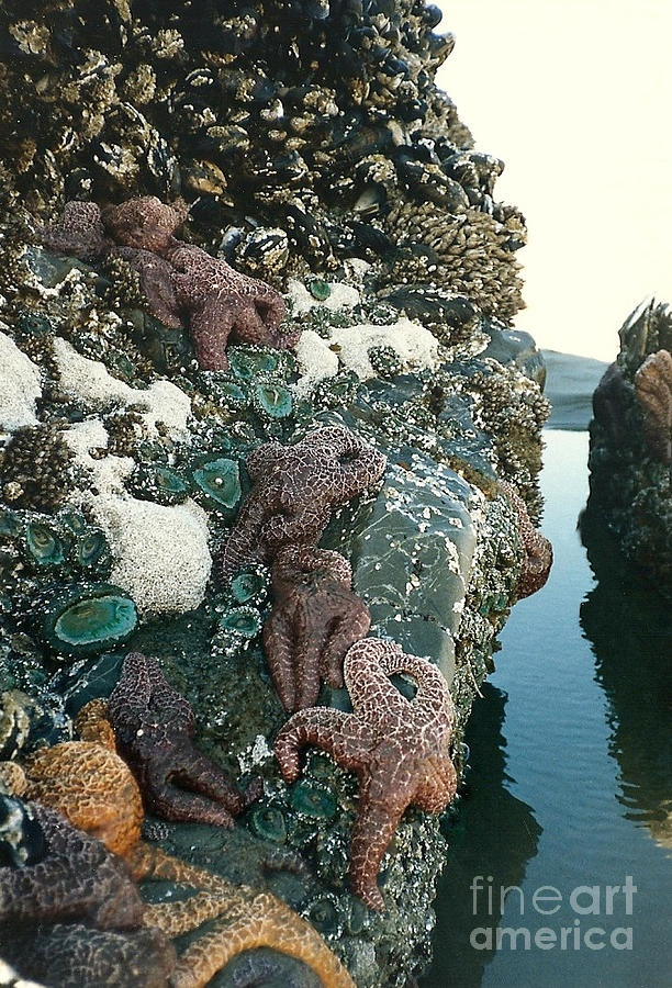 ✯ Starfish, mussels, sea urchins and more can all be found clinging to this rock at low tide.  Photograph was taken at Long Beach, on the west coast of Vancouver Island, B.C., Canada.