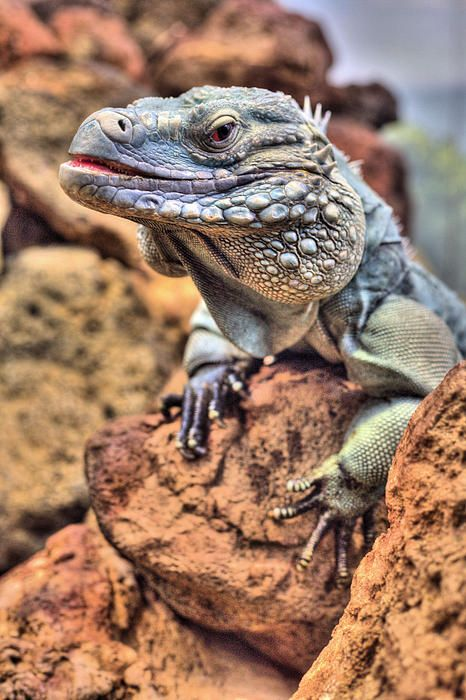 Cyclura Lewisi Grand Cayman Blue Iguana Iguanas Lizard Lizards Reptile