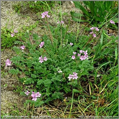 Erodium cicutarium - Iglica pospolita pokrój
