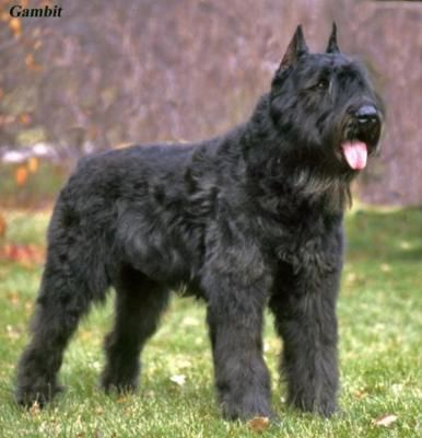 #Bouvier des #Flandres. Breed standard.  Obsession- these dogs are amazing and have always been my breed crush.