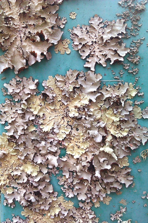 Lichen on paint