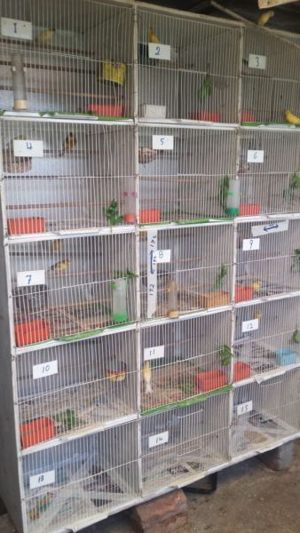 Canary breeding Pet Products Gumtree Australia