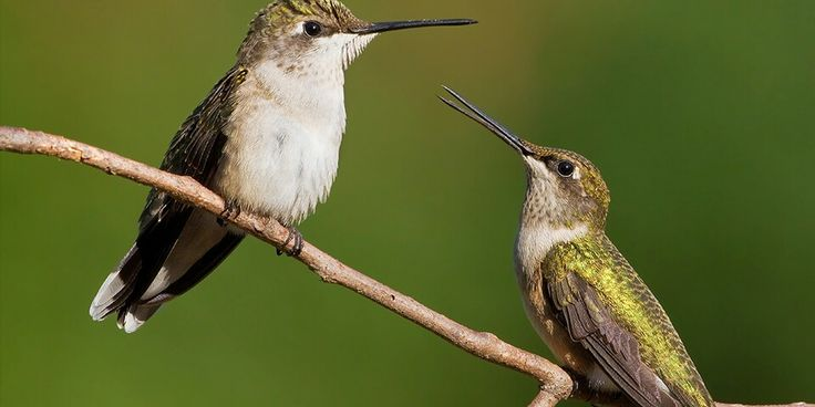 Habitat destruction is the hummingbirds main threat. Hummingbirds are specifically adapted to each unique habitat, each species of hummingbird currently listed ad vulnerable or endangered on the IUCN red list are all threatened by habitat loss.