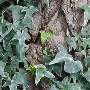 How to Kill English Ivy With Dawn Liquid   eHow